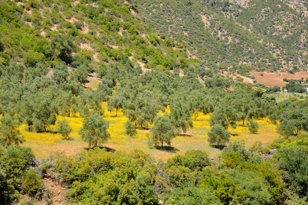 Green hills and olive trees