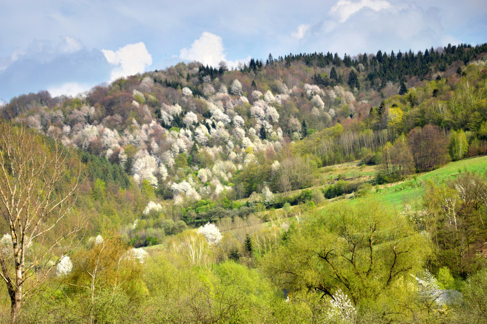 Blooming cherry trees near Nowy Targ
