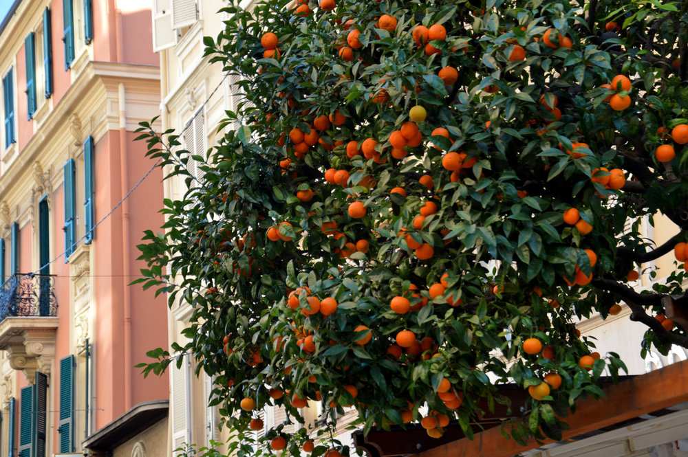Orange trees in La Condamine