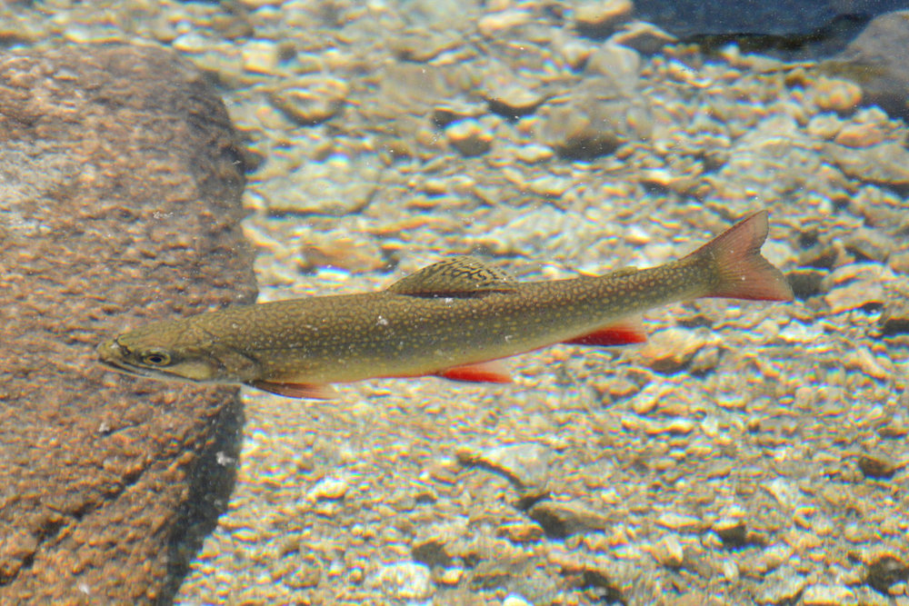 Mountainous trout in crystal clear waters