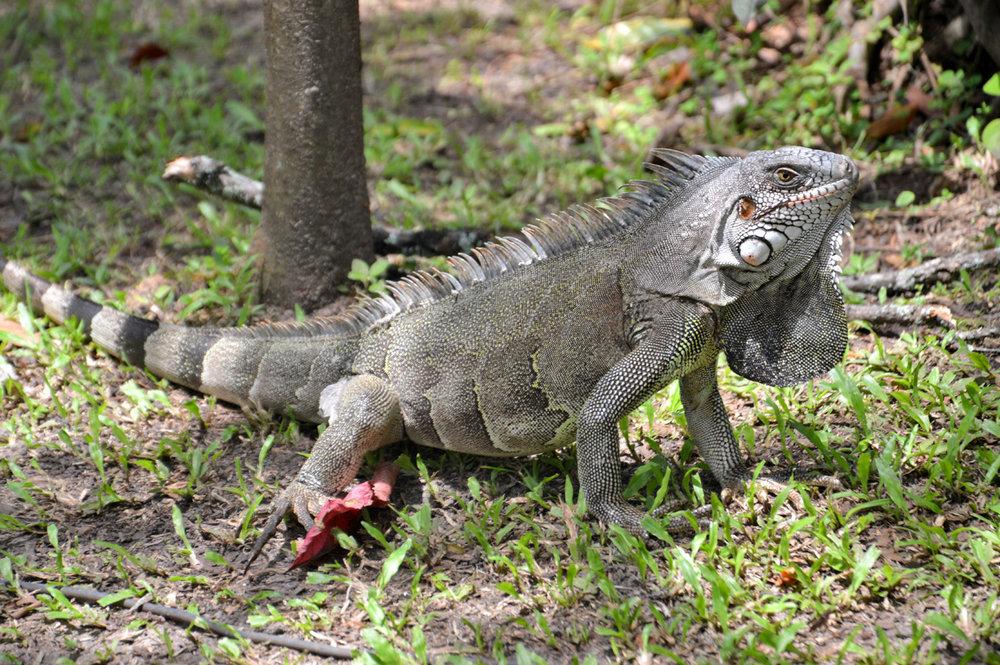 Iguana in Sao Jose de Ribamar