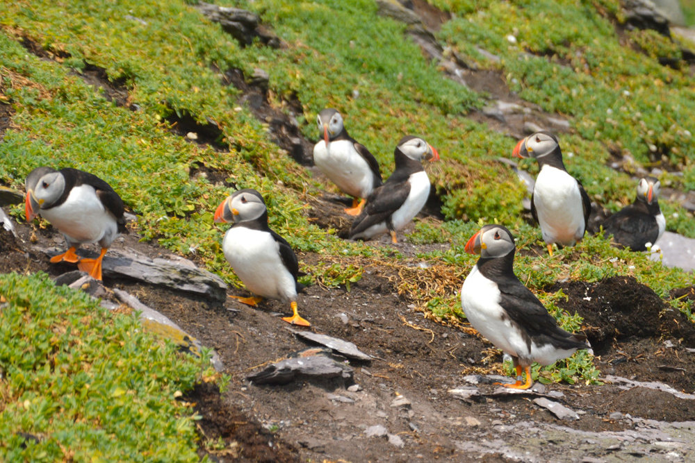 There are hundreds of puffins everywhere