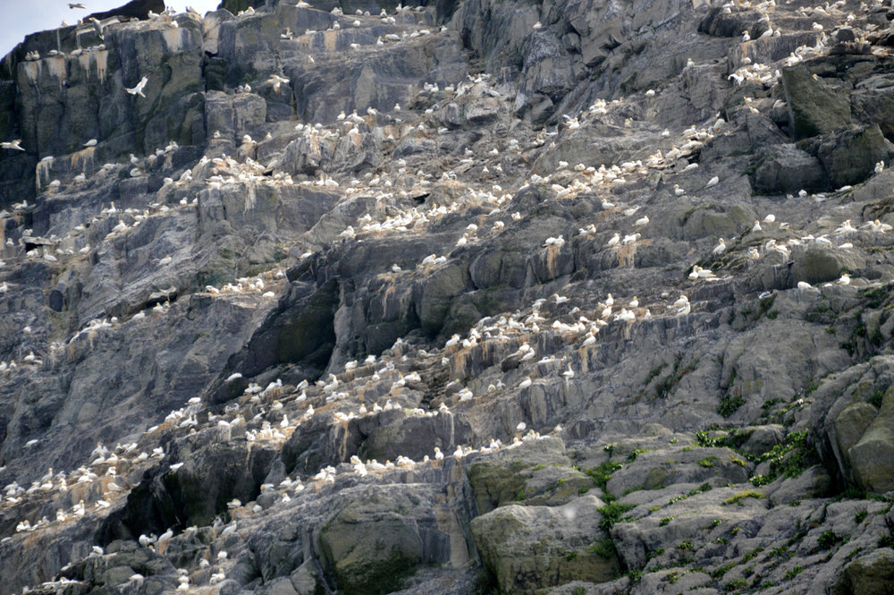 Thousands of birds on Little Skellig