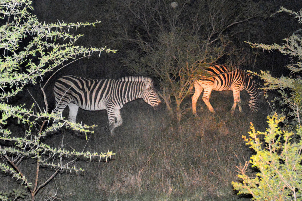 Zebras spotted at night