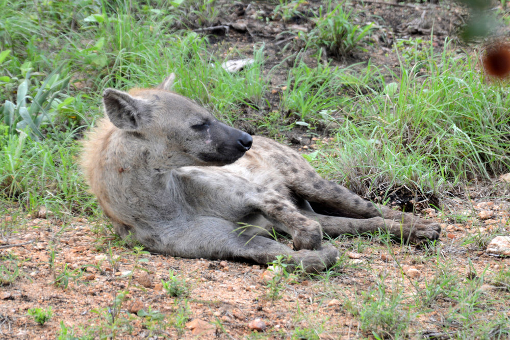Hyena - pretty rare sight