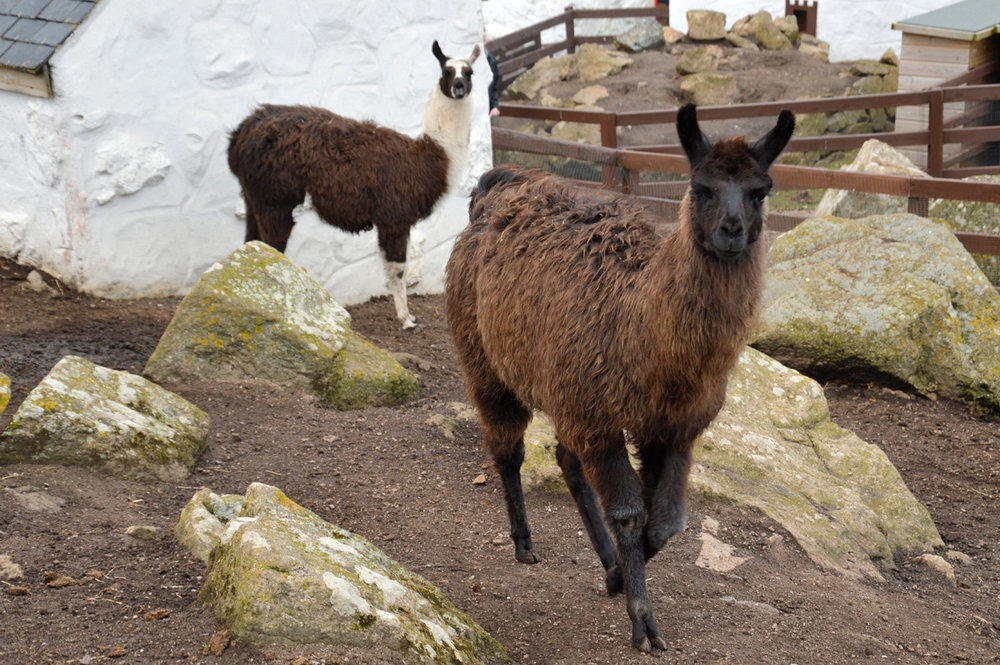 Lamas in Land's End farm