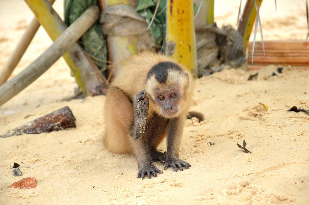 Monkey in Cabure