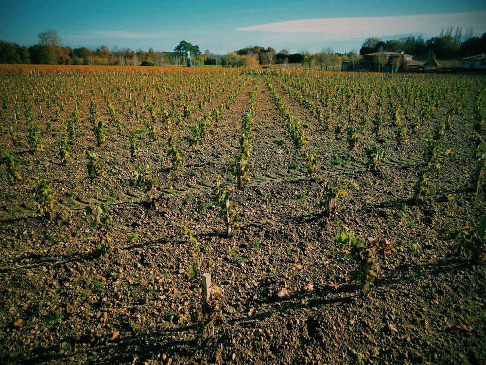 Petites Cabernet Sauvignon vines...