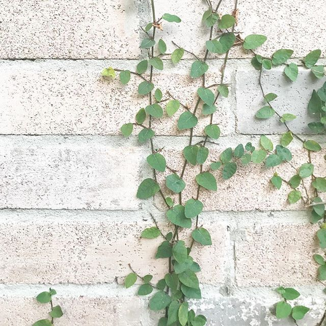 My favorite thing about our home in Austin is the brick wall covered with ivy just to the left of the front door. It's so pretty, reminds me of Wrigley Field and speaks to the unlikely, hard and almost sterile places things can grow. Against all odds, with only mortar between these bricks before- life and life in abundance springs forth and is contagious. 🌱