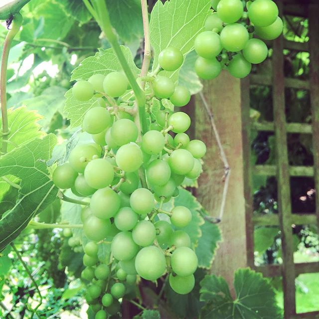 My grapes look good. Tasted like shit last year. Determined to make actual wine from them this year.