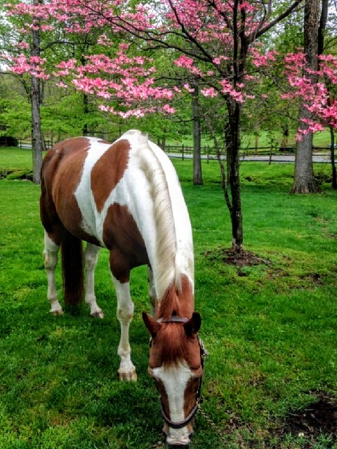 Backdraft enjoying a spring graze