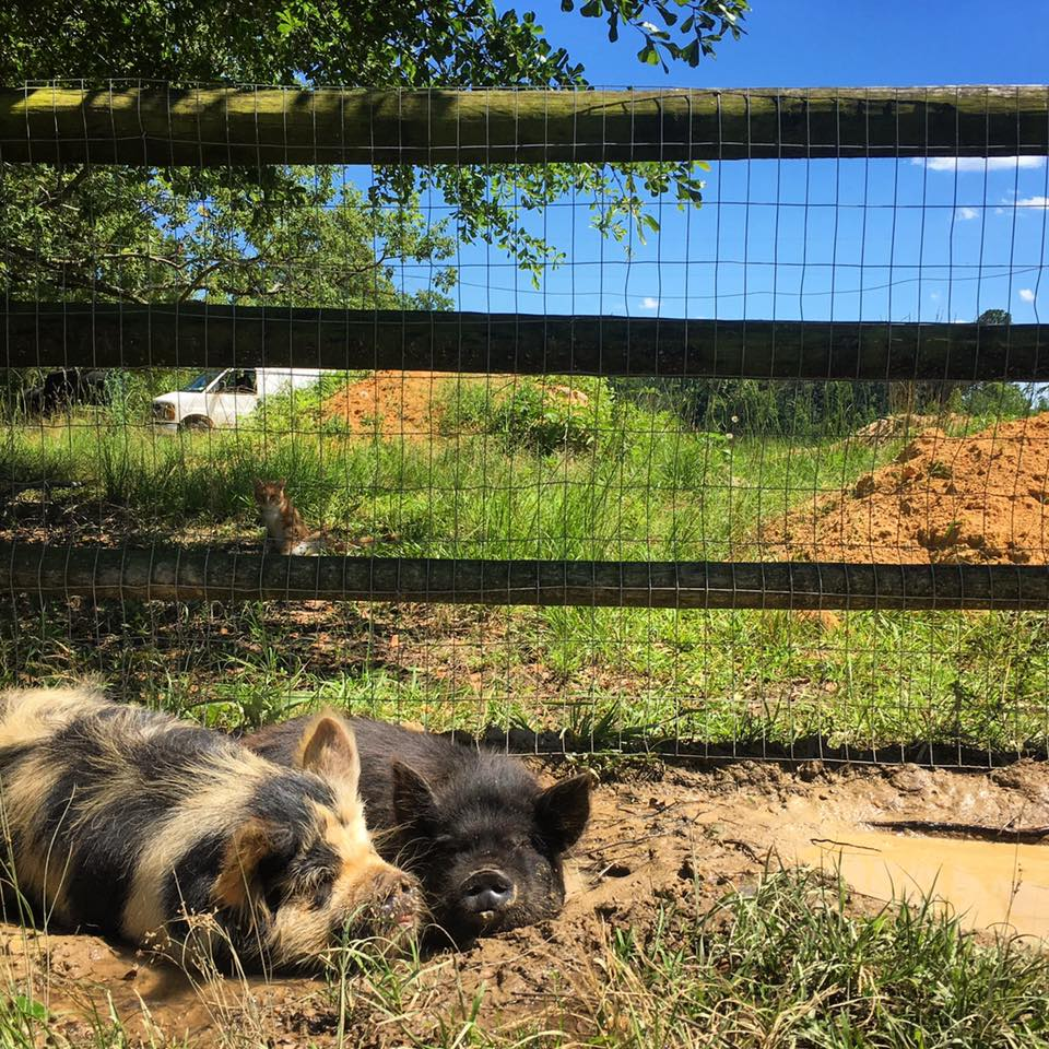 Kunekune Pigs - Compact bodies, short snouts, and sweet dispositions make Kunes essential members of our sustainable farming team.
