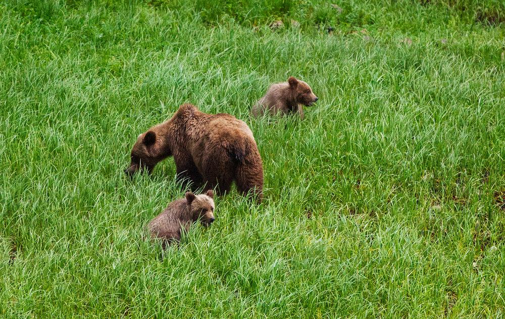 khutzeymateen bears.jpg