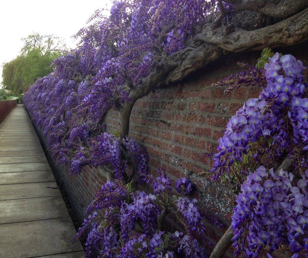 Wisteria on the outer walls of CWGC Lijssenthoek Military Cemetery