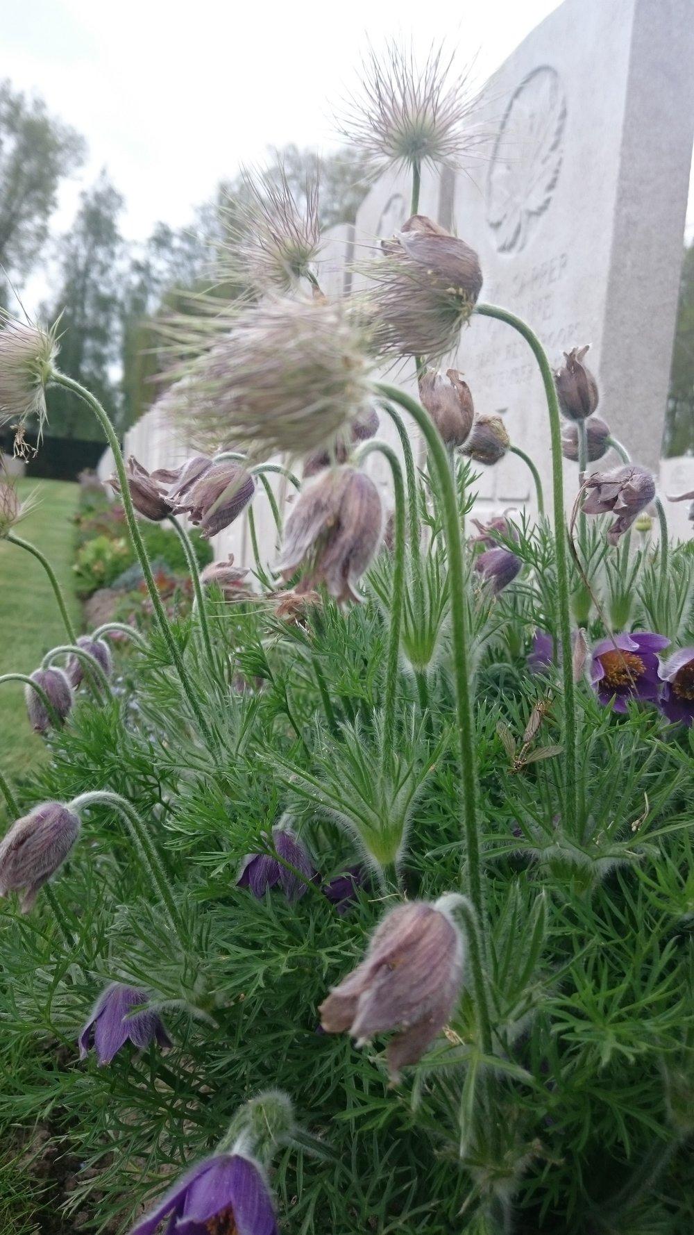 Pulsatillas in the beautifully kept borders at CWGC Lijssenthoek Military Cemetery