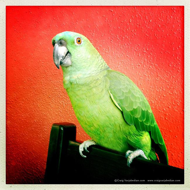 Shala, a parrot