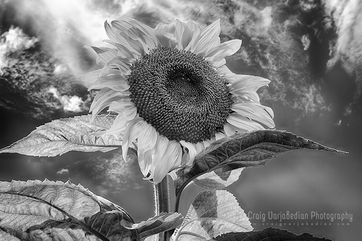 Sunflower, Afternoon, Summer,Near La Cienega, New Mexico  2013 by Craig Varjabedian