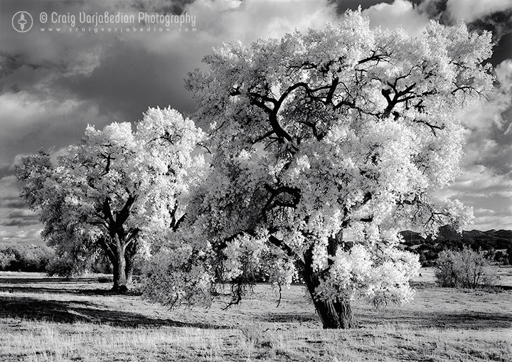 Cottonwood No. 5, Autumn, nr. La Cienega, New Mexico 1996 Photograph ©Craig Varjabedian
