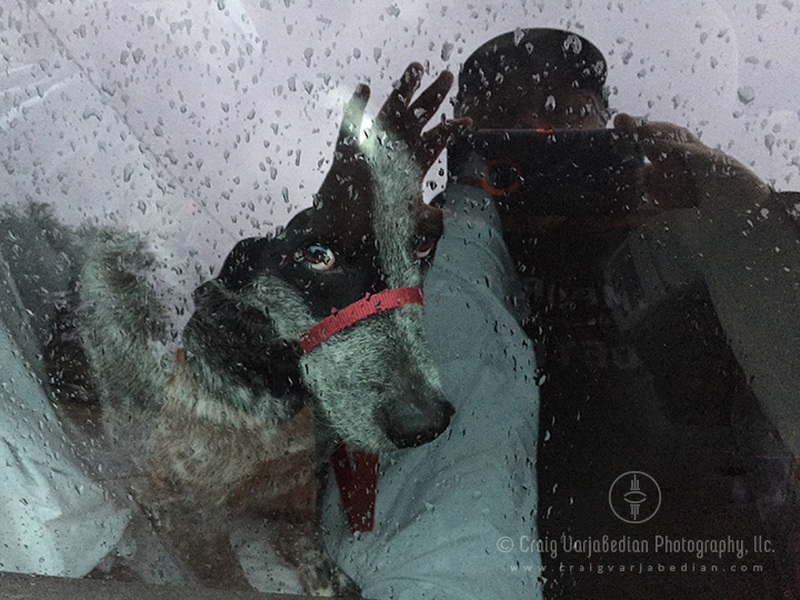 My dog Dektol in the Subaru, October 10, 2014. Photograph by ©Craig Varjabedian