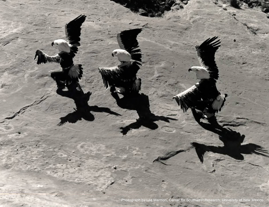 Eagle Dancers #2, Laguna Pueblo, 1962 by Lee Marmon—Center for Southwest Research, University of New Mexico