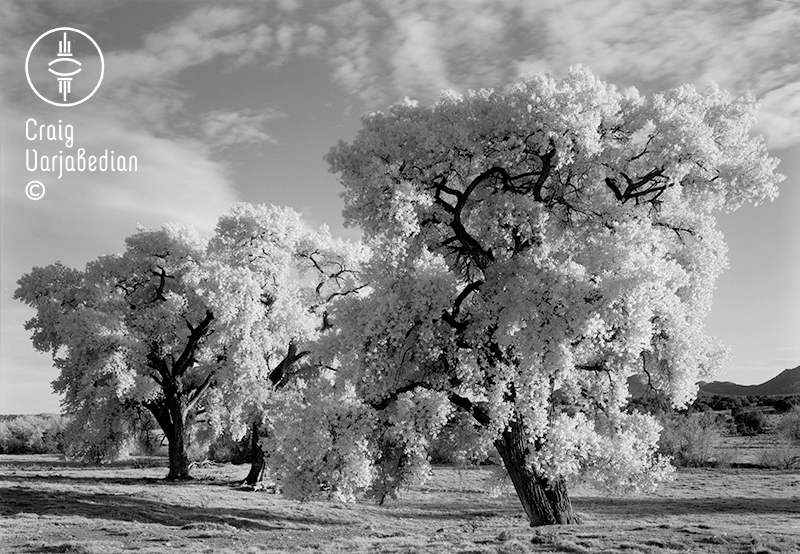 Cottonwood No. 3, Autumn, Nr. Santa Fe, New Mexico 1996. Photograph by ©Craig Varjabedian