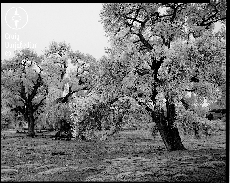 Cottonwood No. 1, Autumn, Nr. Santa Fe, New Mexico 1996. Photograph by ©Craig Varjabedian