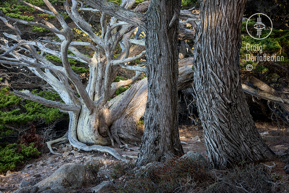Cypress Tree at Point Lobos, nr. Carmel, California