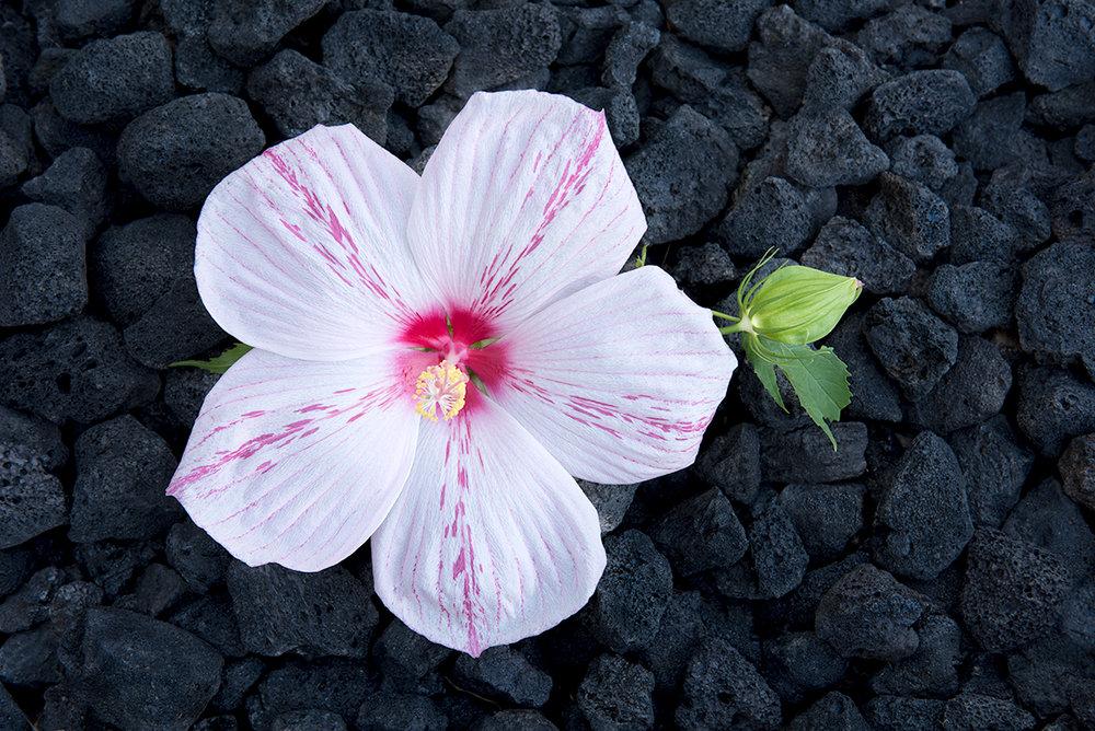 Hibiscus Bloosom