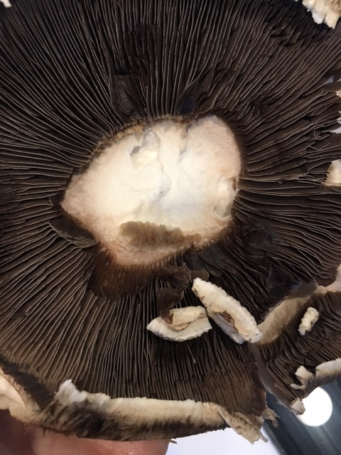 How beautiful is the portobello mushroom?