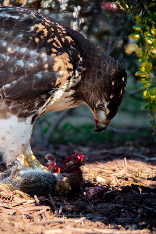 Hawk-3.jpg