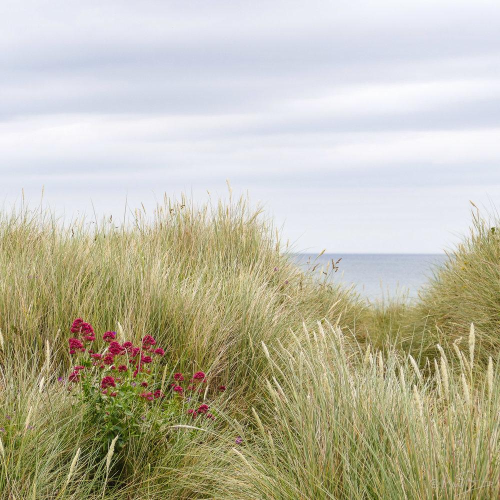 Marram grass.
