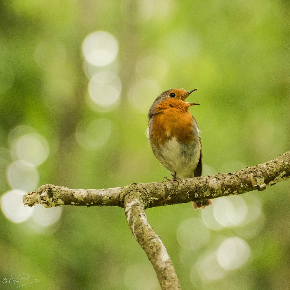 Firestone Robin.