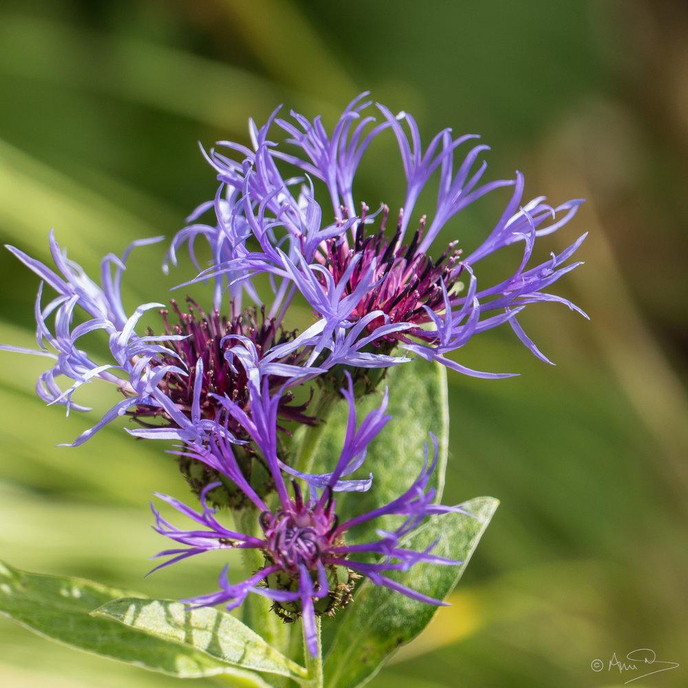 Centaurea Montana 1
