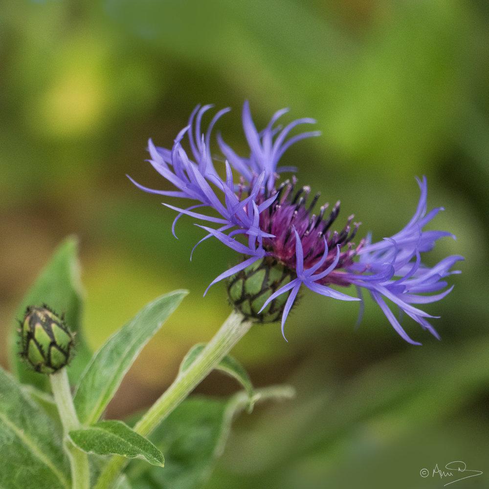 Centaurea Montana 2