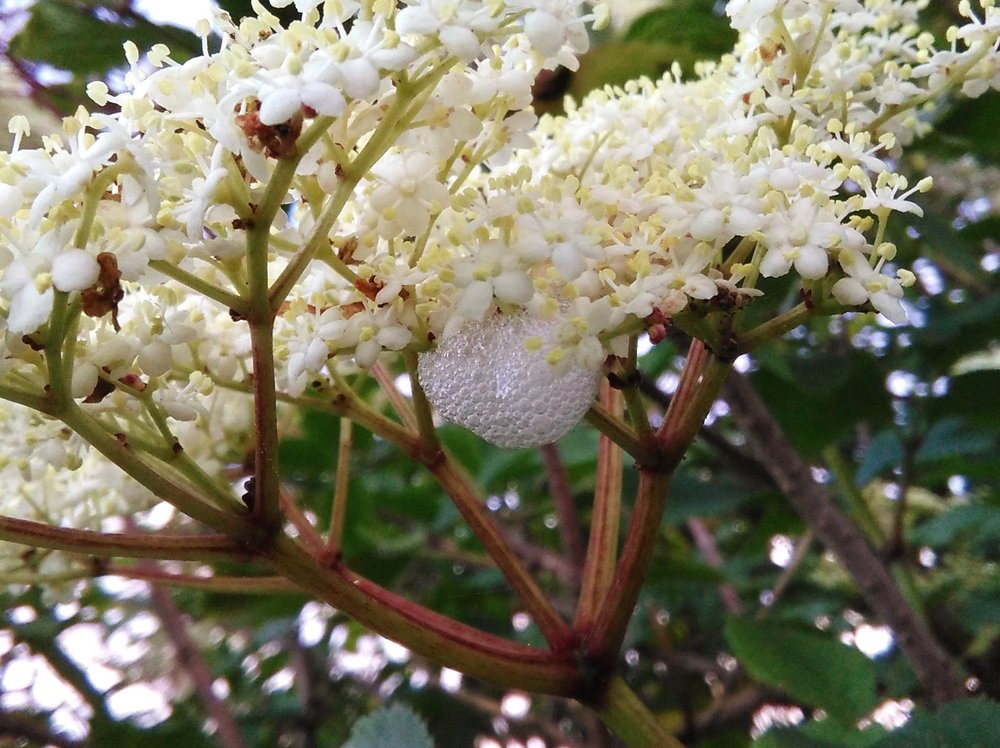 Elderflowers with cuckoo spit