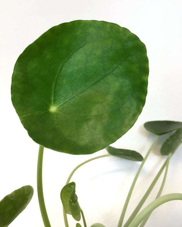 🎶Quit Pilea games with my heart 🎶 #pileapeperomioides