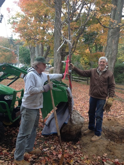 Marc Miller, Town Manager and Bruce Olsen, Garden Club member and volunteer tree planter, planting one of the 'Fall Fiesta' Maples in the maple allee.