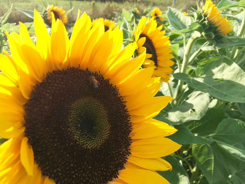 Sunflower w Bee.jpg