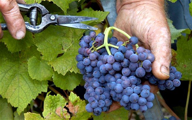 Editorial pic of Wine Harvest.jpg