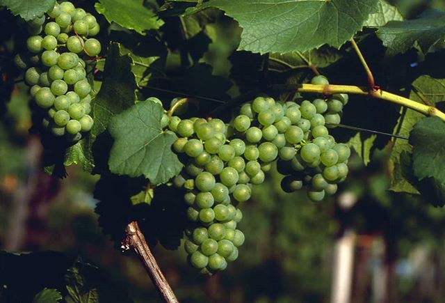 You might think some things never change. But here wine expert Stephen Barrett takes an in-depth look at the Sauvignon Blanc grape http://www.vinelives.com/all-stories/2018/10/19/sauvignon-blanc-the-greywacke-way #winestories #wineexpert #sauvignonblanc #winetasting PHOTO CREDIT AUSTRIAN WINE