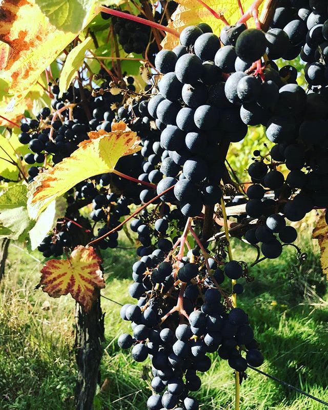 @terlingham_vineyard  looking good! #vines  #englishwine #vineyard #winenews #winemerchants #winetasting #vinelivescom #vinelivescom #winelovers