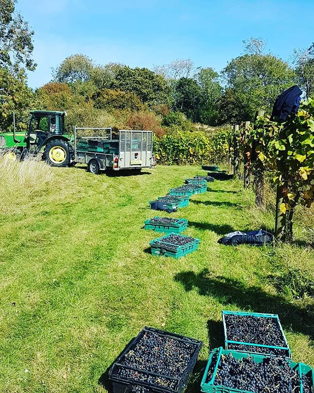 Life on the vine @terlingham_vineyard. Reports of record harvests for #englishwine in 2018 #winelovers #winenews #winemerchants #winetasting #winevideo #vineyard