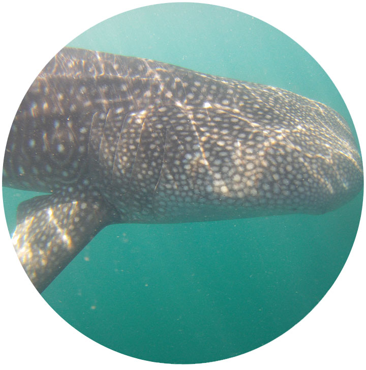 whale_shark_5.jpg
