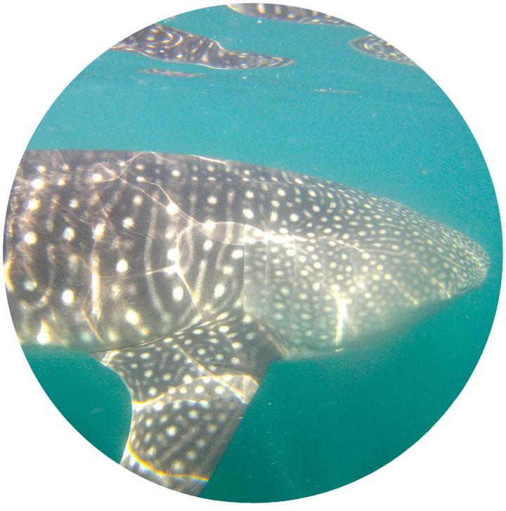 whale_shark_2.jpg
