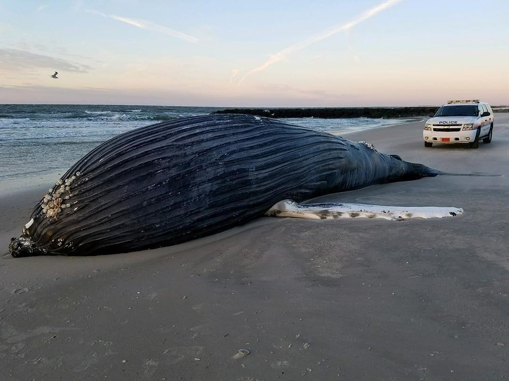 Nassau Police Photo of the Deceased Humpback Whale in Atlantic Beach