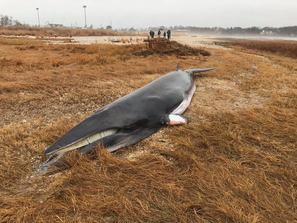 oyster bay minke whale.jpg