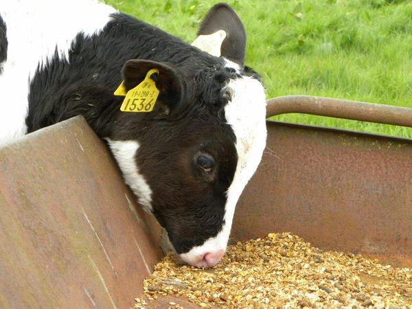 FFG-Calf-feeding.jpg