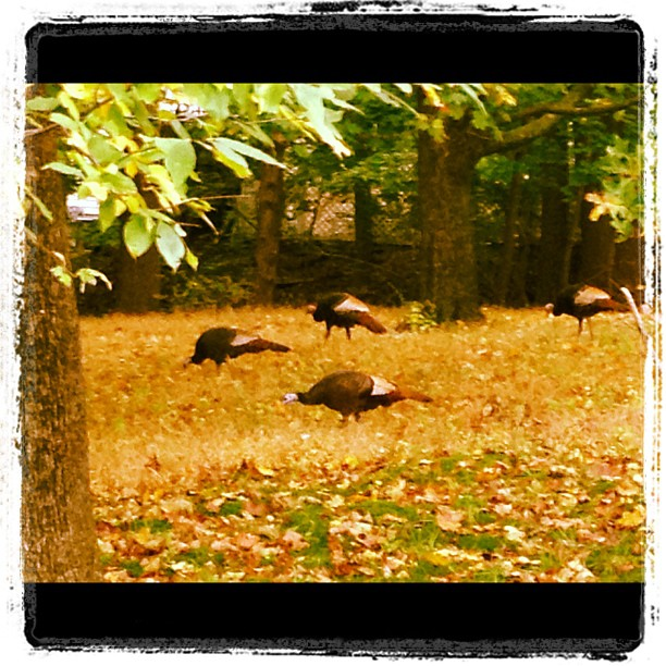 March of the Turkeys.