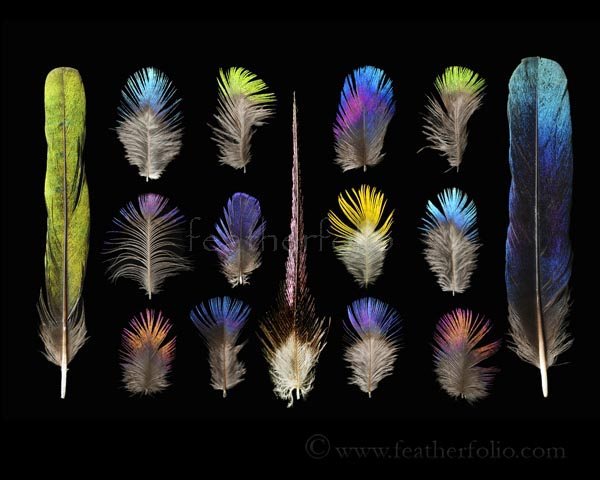Starling Feathers