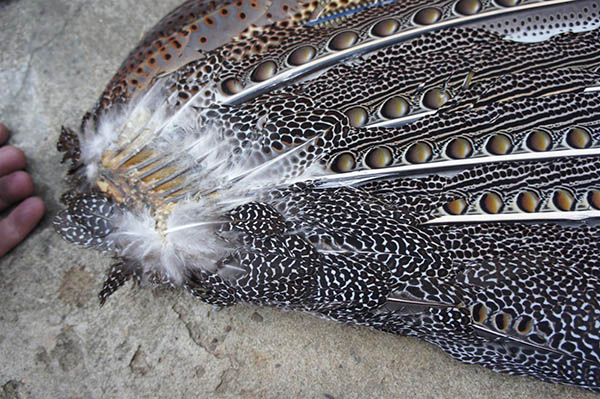 Argus Pheasant wing feathers